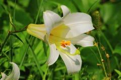 Serii ogrodowe rośliny - białe leluje Obrazy Royalty Free