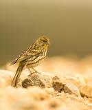 Serin bird Royalty Free Stock Image