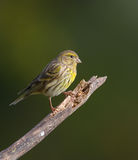 Serin on branch Royalty Free Stock Image
