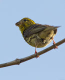 A Serin eating seeds Royalty Free Stock Photos