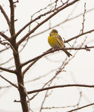 Serin on leafless tree Royalty Free Stock Photo