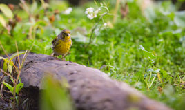 Serin on a log Stock Photography