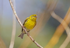 Serin Royalty Free Stock Photos
