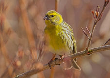 Serin Royalty Free Stock Images
