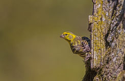 Serin Stock Photography