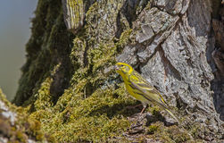 Serin Stock Photo