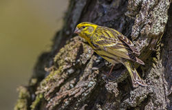 Serin Royalty Free Stock Image