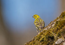 Serin Royalty Free Stock Photo