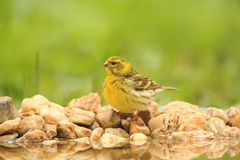 Serin male drinking. Serin male wisiting garden pond and drinking water Royalty Free Stock Photo