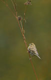 Serin perching on dry plant Stock Image