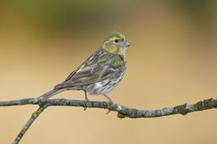 Serin Serinus serinus male on branch covered in lichen, León, Spain. Europe royalty free stock photography