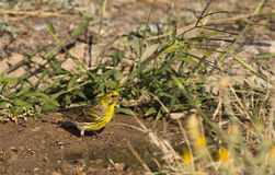 Serin (Serinus serinus) Royalty Free Stock Photography