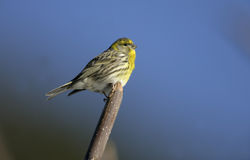 Serin, Serinus serinus Royalty Free Stock Photography