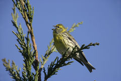 Serin, Serinus serinus Royalty Free Stock Images