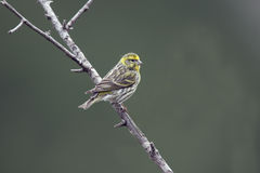 Serin, Serinus serinus Stock Photo