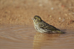 Serin, Serinus serinus, single female Royalty Free Stock Photos