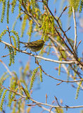 Serin in spring Royalty Free Stock Photography