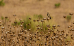Serin on Thistle plants Royalty Free Stock Images
