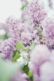 Sering, de lente, warm licht, bloemen, magische bloem, de zomer, park, boom Royalty-vrije Stock Fotografie