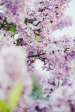 Sering, de lente, warm licht, bloemen, magische bloem, de zomer, park, boom Stock Afbeelding