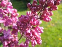 Sering in de vroege ochtend, zodat - gesloten bloemen stock foto's