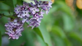 Sering in een de lentepark - een tak van sering in de stralen van de het plaatsen zon Royalty-vrije Stock Fotografie