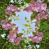 Sering en vlinder Stock Afbeeldingen