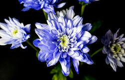 Sering Gekleurd Chrysanth-Boeket Royalty-vrije Stock Afbeelding