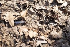 Seringue sur une feuille sèche dans les bois photographie stock libre de droits