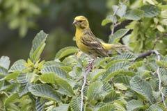 Serinus serinus  bird on tree. Serinus serinus  bird  on tree Stock Image