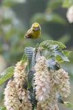 Serinus serinus  bird on tree. Cute serinus serinus  bird on tree Stock Photo