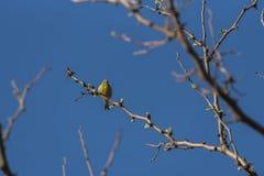 Serinus canaria fotografie stock libere da diritti