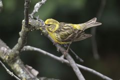 Serinus serinus ptak na drzewie fotografia royalty free