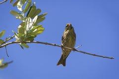 Serinus Serinus, μικρό πουλί, περίπου 11-15 εκατ. σε μέγεθος Στοκ φωτογραφία με δικαίωμα ελεύθερης χρήσης
