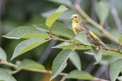 Serinus serinus  bird on tree. Cute serinus serinus  bird on tree Stock Image