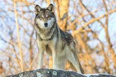 Serio mire fijamente abajo por el lobo Foto de archivo libre de regalías