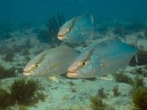 Seriola predator gamefish at Ceará reef. Seriola Carangidae gamefish underwater Pedra da RIsca do Meio Marine estate Park, Ceará, Brazil stock photos