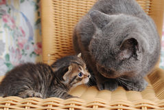 Serious adult British cat with a small kitten Stock Photos