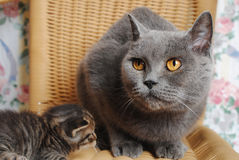 Serious adult British cat with a small kitten Stock Images