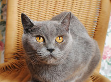 Serious adult british cat on a wicker chair Royalty Free Stock Photos