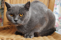 Serious adult british cat on a wicker chair Royalty Free Stock Images