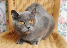 Serious adult british cat on a wicker chair Stock Photo