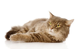 Serious adult cat looking away. Isolated on white background Stock Image