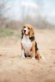 Serious beagle dog Stock Photos