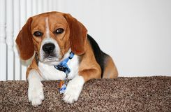 Serious Beagle. On stairs relaxing Royalty Free Stock Photos