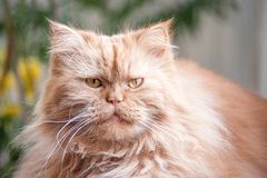 Serious big ginger fluffy cat lying in the room.  Stock Image