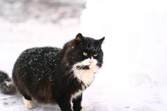 Serious big and powerful black cat. Adorable powerful black cat in snow with light green eyes is standing on the street in cold winter day almost isolated on Royalty Free Stock Photography