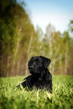 Serious black Labrador lying on the grass Stock Photography