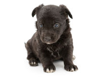 Serious black puppy Royalty Free Stock Photo
