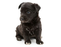 Serious black puppy Stock Photography